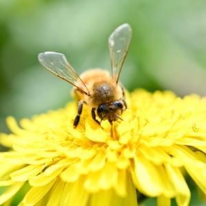 ミツバチはいつから地球にいるの?「ガレノス」のコールドクリーム