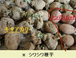 秋ジャガイモ2種植え付け