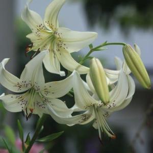 ユリが開花