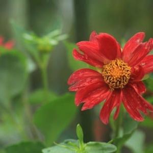 種から育てたダリアと盛夏なのに寒い!
