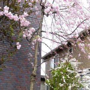 桜が咲いたので散歩してきます!byマーチン