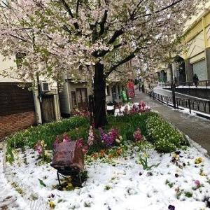 桜と雪と・・・