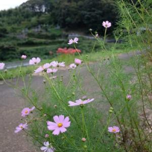 彼岸花、秋桜そして