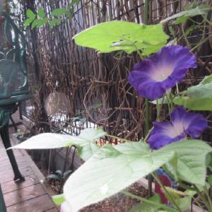 ウッドデッキの「朝顔」が咲いた。