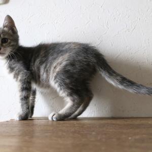 里親さん探し中の子猫ふぅ