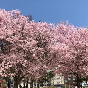 2020年 錦町公園(桜満開)