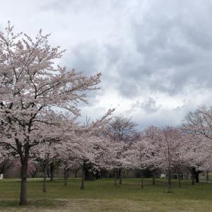 2020年 仙台西公園(桜満開)