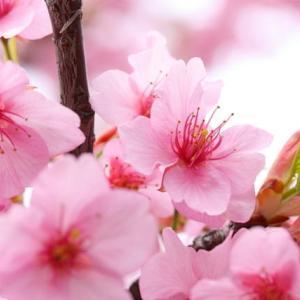 第248号 ちょっと早咲きの桜を思って書いてみました・・・「春の役者」