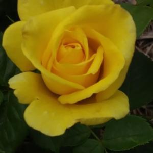 黄色いバラ。。。そして久しぶりに釣れたヒラメとレッドドラム