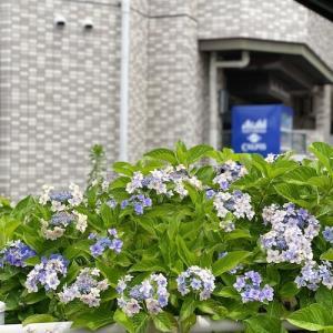 「こんぺいとう」という名前の紫陽花