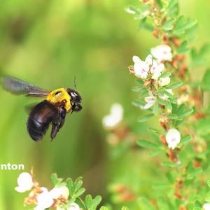 ハチとペン