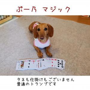 ぷー乃のカードマジック!!マジシャン・ぷのだゾ!