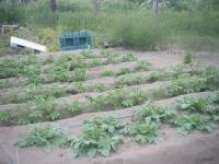 家庭菜園は大忙し