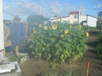 家庭菜園のメインイベント