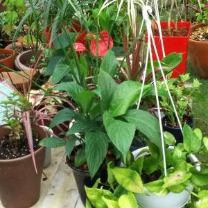 雨に打たれよう観葉植物