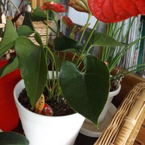 ★大きな鉢へ植え替えアンスリウム・プテリス・寄せ植えポトスとセネキオ