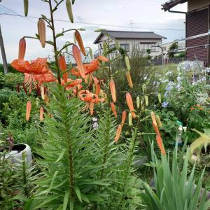 梅雨の長雨。我が家の花は?