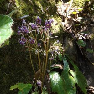 ★山野草・星形した紫色のイワタバコを求めて
