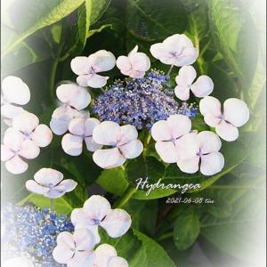 華流ドラマ(*´ω`)今日の紫陽花