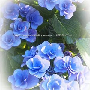 今日の紫陽花。私、失敗しないので。立場逆転