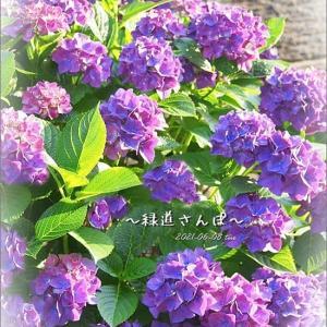 ポッチの肛門問題( ̄▽ ̄;)今日の紫陽花