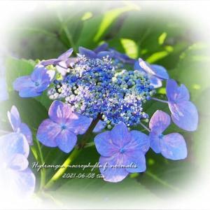 今日の紫陽花。関東も梅雨入り