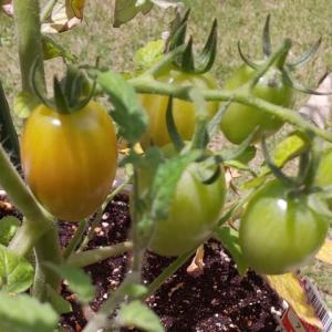 トマト栽培日記~実が色づくまで~