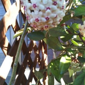 4度目の開花