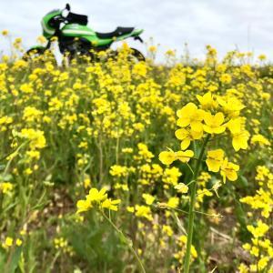 黄色い春来てた…土手沿いツー。