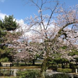 京都桜たより 2020