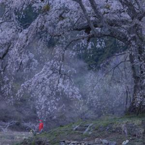 地蔵桜の朝