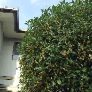 キンモクセイは2度咲く!