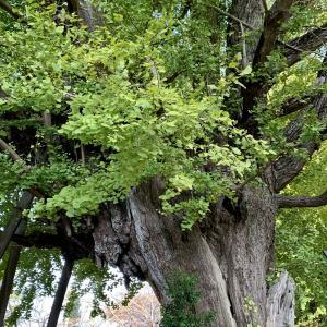 樹齢1000年の銀杏 県民の日
