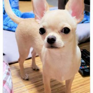 お便り♪チワワ「ピース君」とミックス・チワプー「ハニーちゃん」