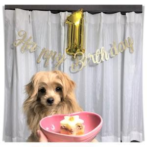 2★お便り♪ミックス・チワプー「くぅ君」1歳のお誕生日♡