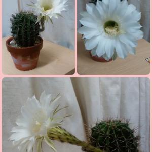 『サボテン🌵の花』