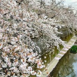 2020年3.28-29自粛の桜