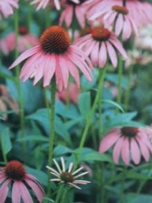 10月13日の誕生花・紫馬簾菊(ムラサキバレンキク)