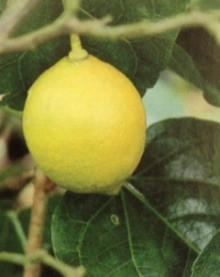 11月12日の誕生花・檸檬
