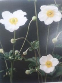 11月16日の誕生花・秋明菊(シュウメイギク)