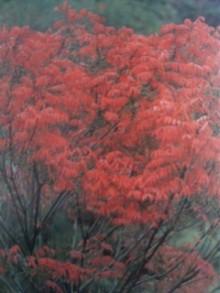 11月19日の誕生花・櫨の木