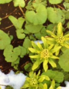 2月16日の誕生花・蕗の薹(フキノトウ)
