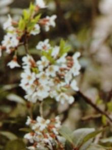 2月21日の誕生花・彼岸桜