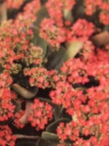 2月25日の誕生花・カランコエ