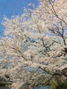 4月1日の誕生花・染井吉野(ソメイヨシノ)