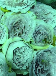 7月15日の誕生花・薔薇(バラ)