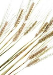 8月4日の誕生花・小麦