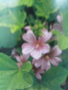10月28日の誕生花・銭葵(ゼニアオイ)