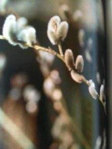 1月23日の誕生花・猫柳