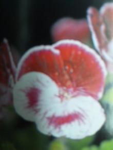 6月20日の誕生花・ぺラルゴニューム